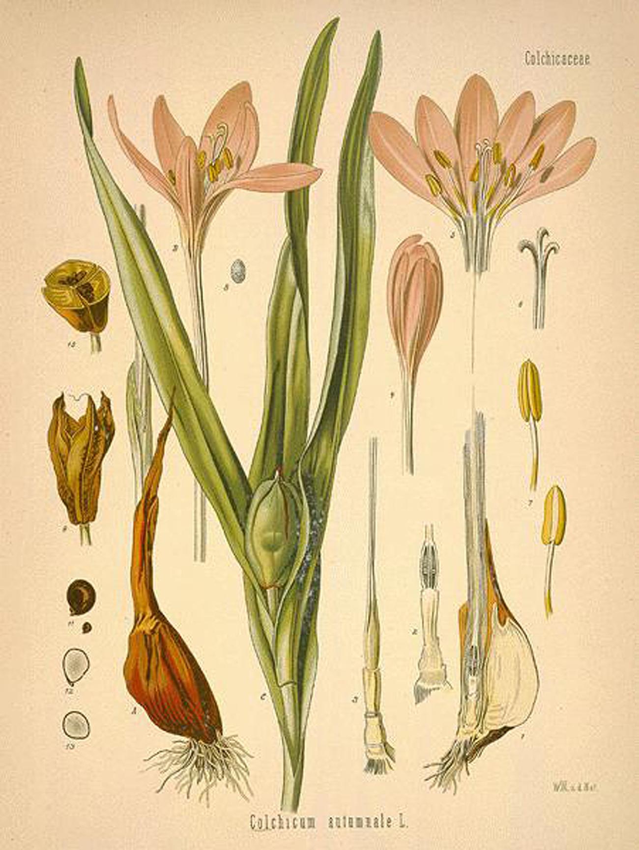 샤론의 수선화 חבצלת השרון 그리고 솔로몬의 꽃