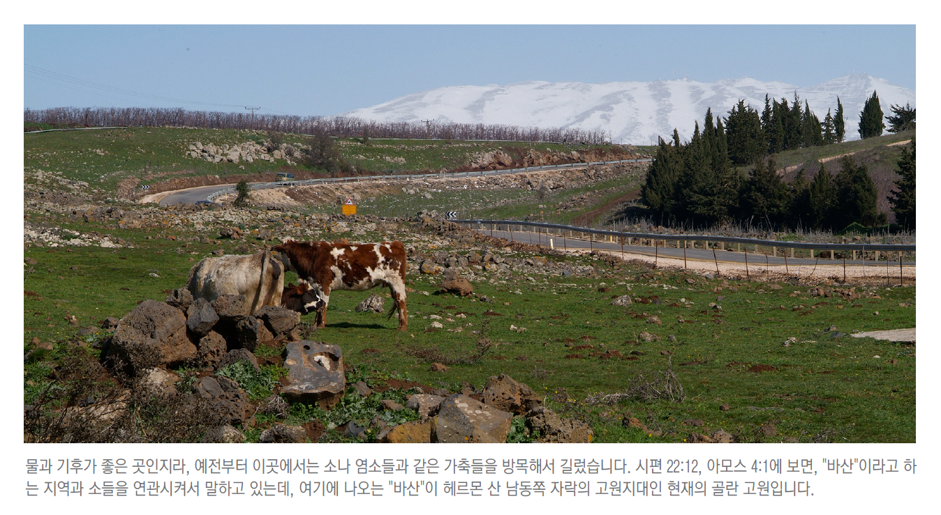 0302 Golan Cow