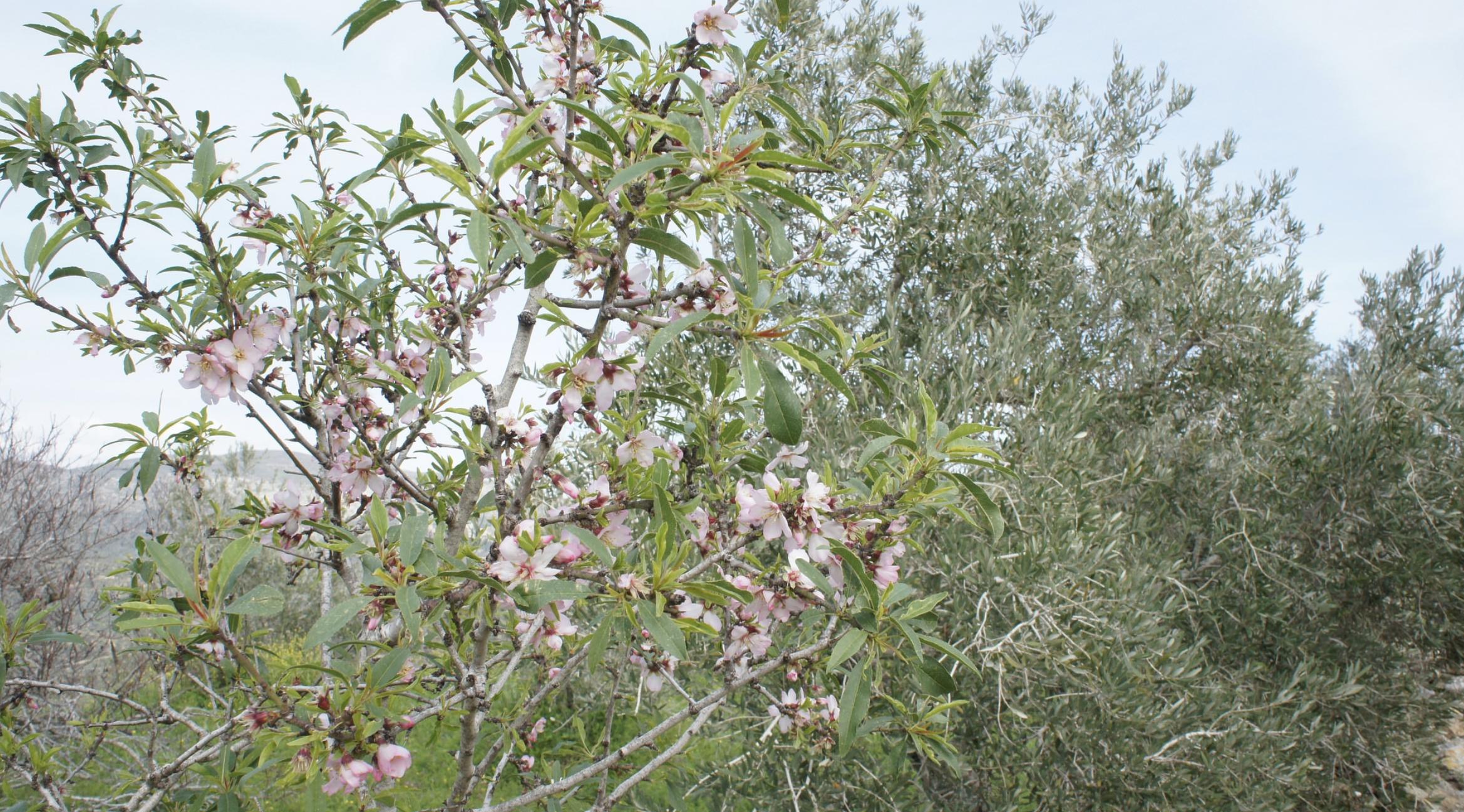 살구나무(꽃)-아몬드(꽃)