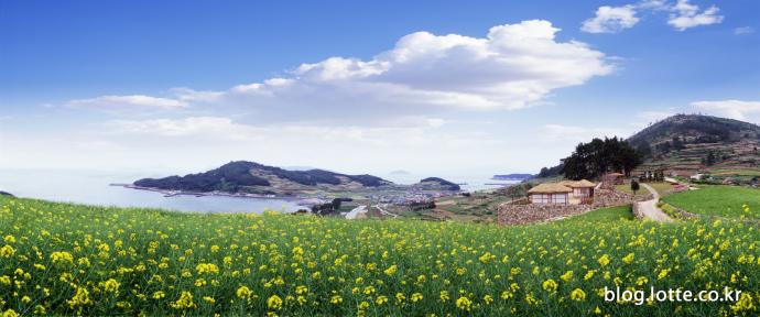 봄의 신록, 전남 완도 청산도의 유채꽃과 청보리