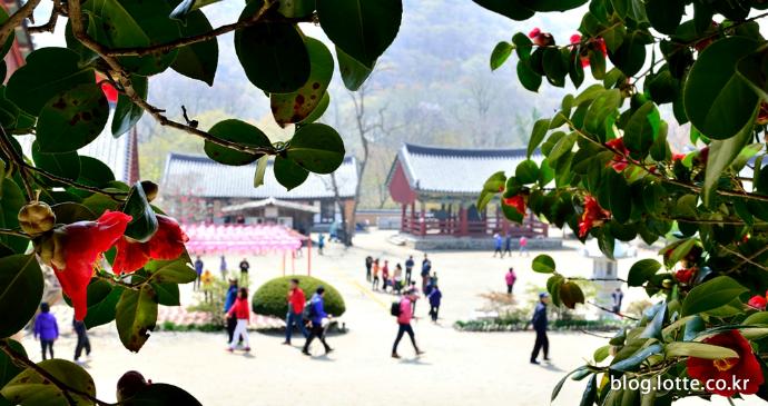 봄의 전령사, 전북 고창 선운사의 동백꽃
