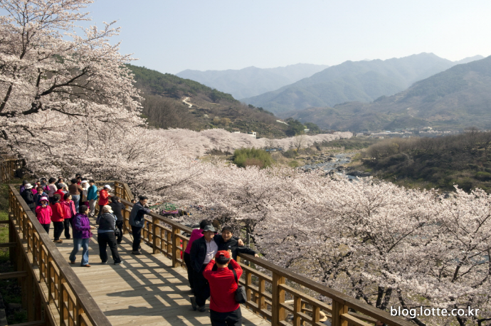 눈부신 봄의 하이라이트, 경남 하동 십리 벚꽃길